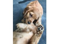 Gorgeous golden showbtyoe cocker puppies for sale