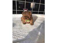 Imperial shih tzu puppies . Stunning litter of 5 . boys and girls available