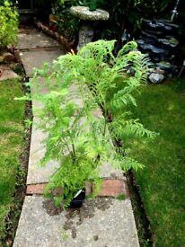 JACARANDA PLANTS tropics for indoors