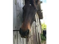 "15""3 gelding for part loan"