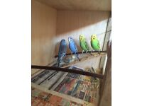 Beautiful Aviary Bred baby Budgies, 8 weeks old and ready to leave now.