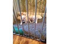 Wee-chon puppys for sale