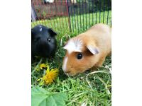 Two female guinea pigs