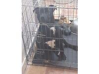 Beautiful pedigree staffy puppy 6m old male