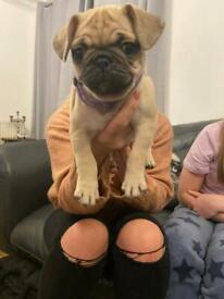 3/4 3/4 Pug puppy Girl - pug x frug (pug x French bulldog)