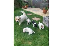 Jack Russell Shi Tzu cross puppies for sale