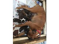 Seven Beautiful Pedigree Boxer Puppies for Sale