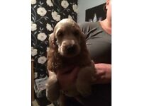 Show type cocker spaniels puppies. Ready now