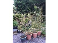 Black bamboo plants in large pots x 4. Swanley