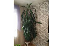 Big and nice House plant