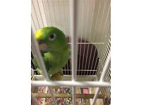 Baby yellow Crownd Amazon parrot