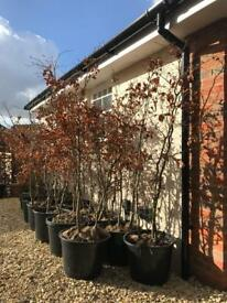 48 Green Beech 5-6ft Instant Hedging Trees