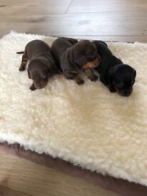Miniature kc registered puppies