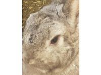 Polish Grey Rabbit