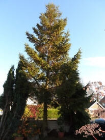 REAL CHRISTMAS TREE HUGE READY TO GO TODAY