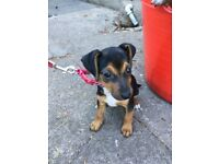 Beautiful Female Black and Tan Jack Russell