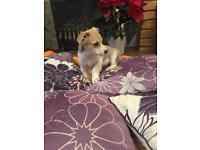 Dachshunds puppy xxx