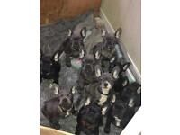 Triple carriers kc French bulldogs reduced price