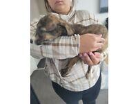 Deerhound puppy