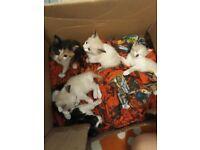 5 kittens forsale