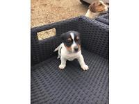 Jack Russell pup little boy