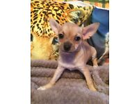 Chihuahua Pups for sale 1 girl & 1 boy left