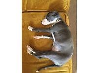 Italian Greyhound Puppy Female