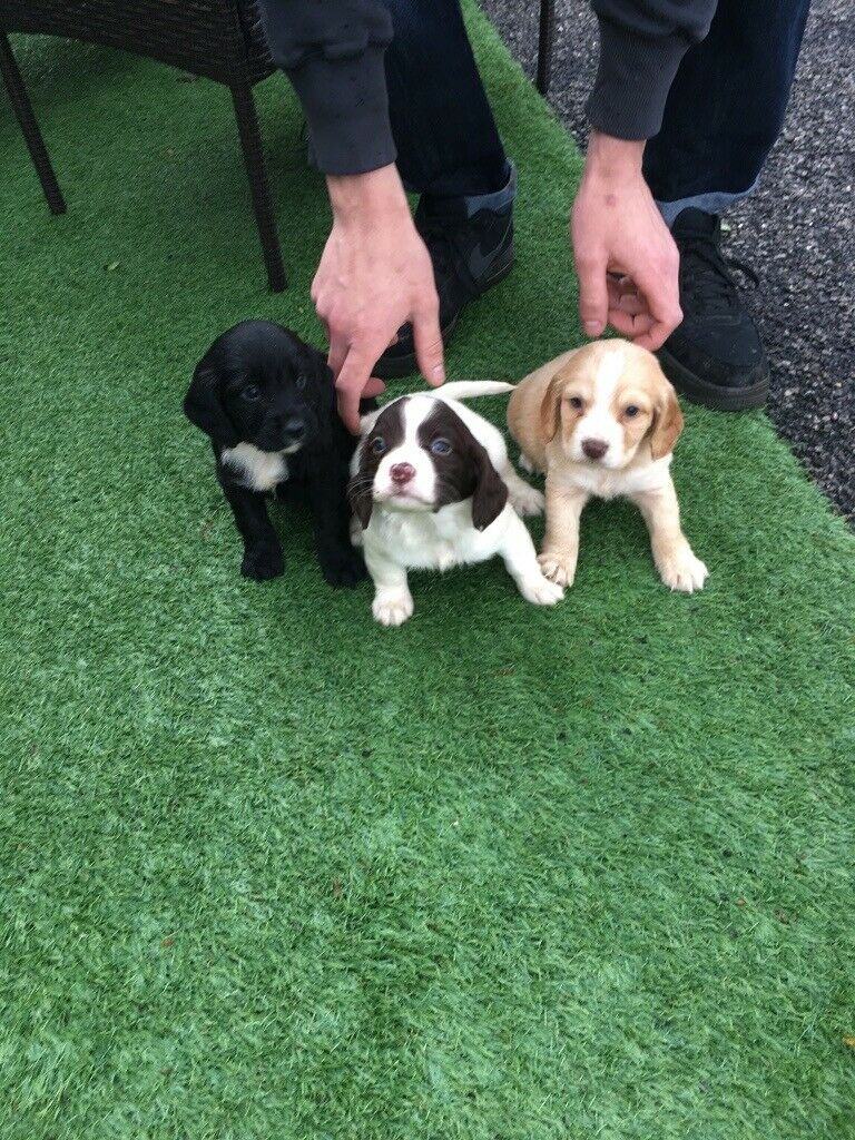 Cocker spaniel puppies for sale | in Cranleigh, Surrey | Gumtree