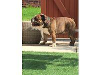 English bulldog male neutered.