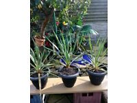 Large flowering yuccas forsale