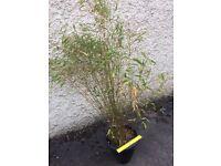Miniature Bamboo