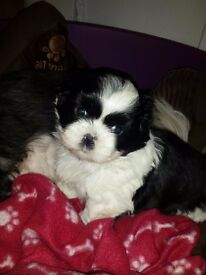 Gorgeous shih tzu pups for sale
