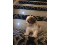Lhasa apso | Dogs & Puppies for Sale - Gumtree