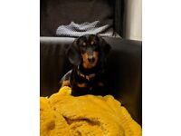 Dachshund - puppy - female - black/tan