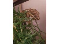 Gargoile Gecko