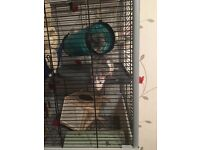 Gorgeous Male rats for sale