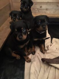 Rottweiler puppies for sale £750