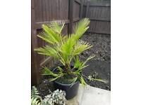 Palm Tree - 32L pot - 1m Tall - Multi Stemmed Specimen - £60 ono - Glenrothes