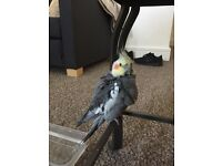 Found grey and white cockatiel on Cathedral Road Cardiff