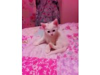 2 Beautiful Pure White Kittens