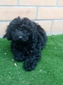 F2. Dachshund cross. toy poodle puppies