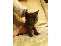 2 blue kittens 1 tabby kitten