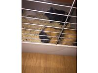 Guinea Pigs with accessories or sale