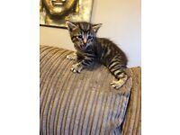 1/2 Bengal kittens