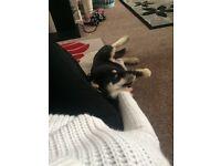 Husky 12 months old