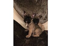Fawn French bulldog male puppies