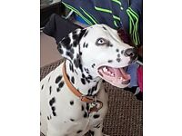 7 month Dalmatian male hes mic chip and up to date with jabs and that £400 ono gd with kids