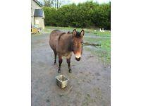 Mare donkey