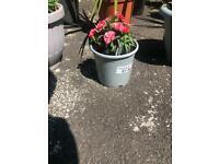 Osteospermun flower plant