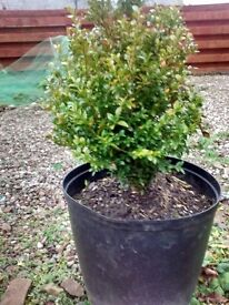 Box trees in pots